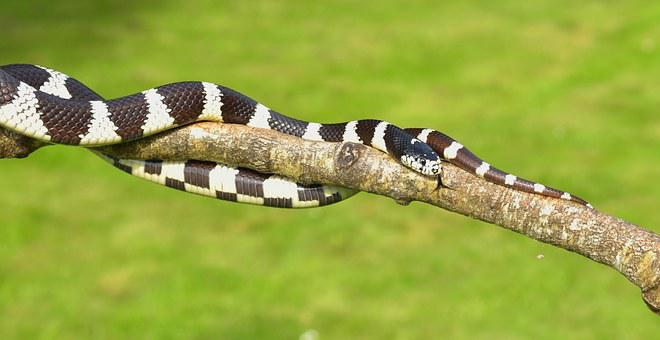 California Getula, Chain Natter, Snake, King Snake
