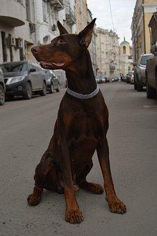Animals, Doberman, Each, Street, City, Center, Dog