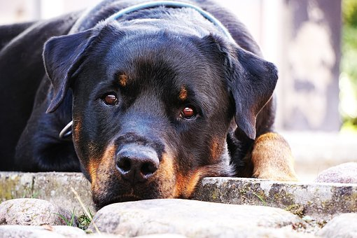 Dog, Rottweiler, Closeup, Rest, Is, Black, Adult, Cute
