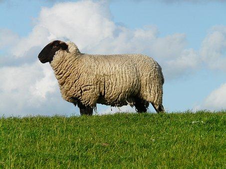 Sheep, Chef, Boss, Bellwether, Wool, Rhön Sheep, Dike