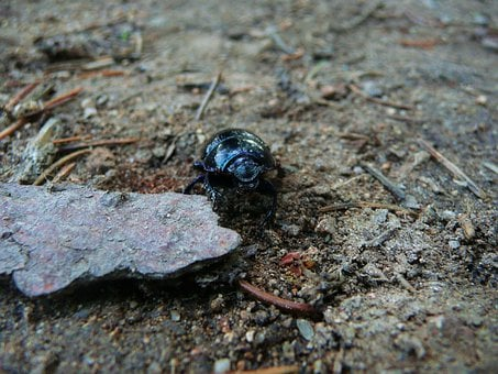 Earth-boring Dung Beetles, Insect, Dung, Wildlife, Bug