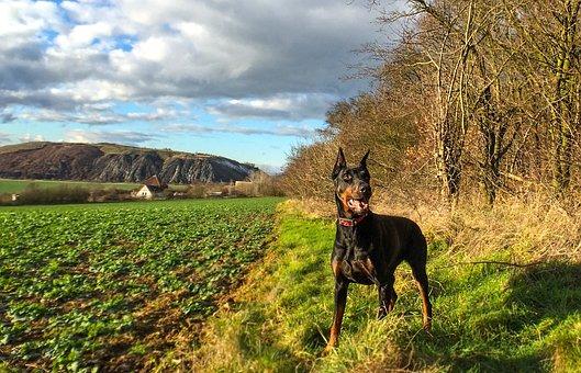 Doberman, Pinscher, Dog, Pet, Field, Meadow, Autumn