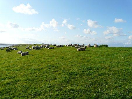 Rhön Sheep, Flock Of Sheep, Group, Rest, Concerns