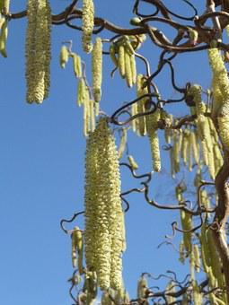 Nature, Hazel, Hazelnut, Bush, Frühlingsanfang
