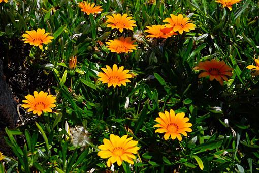 Gazania, Flowers, Yellow, Orange, Bloom