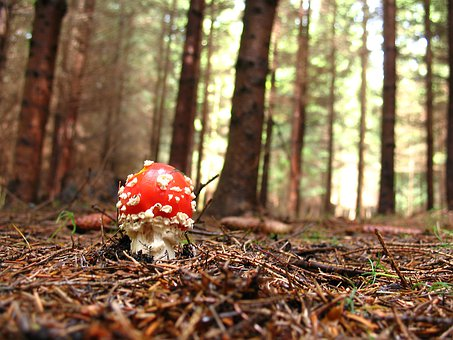 Fly Agaric, Red, Forest, Nature, Toxic, Gift, Mushroom