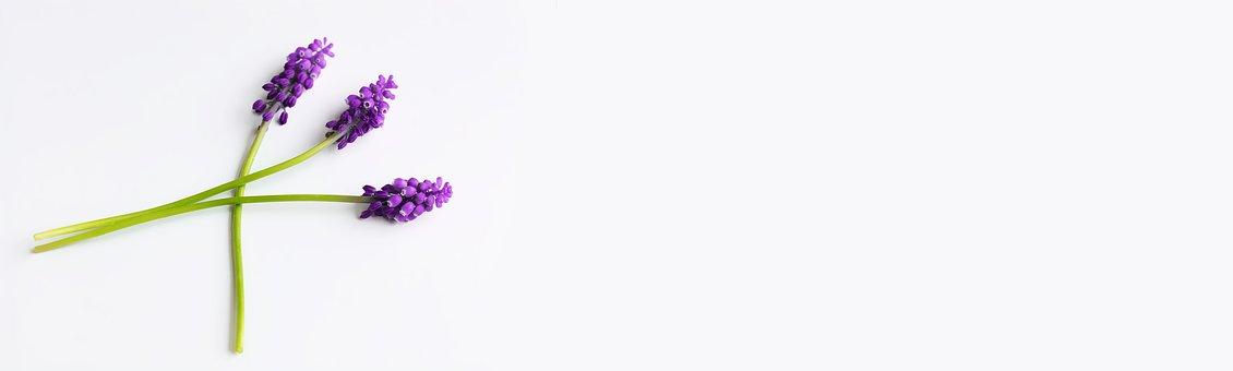 Grape-hyacinth, Purple, Flowers, Blue Flowers, Hyacinth