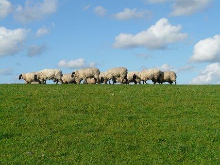 Flock Of Sheep, Group, Sheep, Graze, Wool, Rhön Sheep