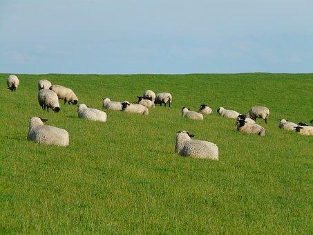 Flock Of Sheep, Group, Rest, Concerns, Sheep, Graze