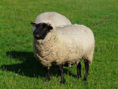 Sheep, Funny, Happy, Chew, Wool, Rhön Sheep, Dike