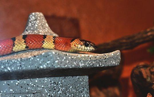 King Snake, Snake, Banded, Red, Black, Colorful