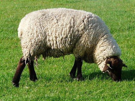 Sheep, Graze, Wool, Rhön Sheep, Dike, Meadow, Grass