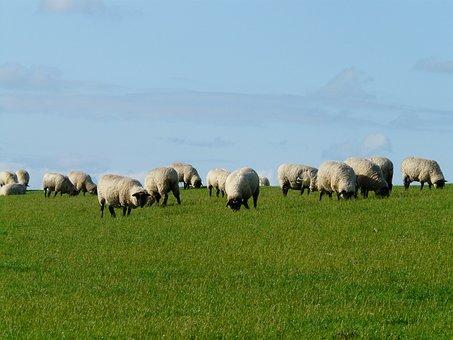 Flock Of Sheep, Sheep, Rhön Sheep, Dike, Meadow, Grass