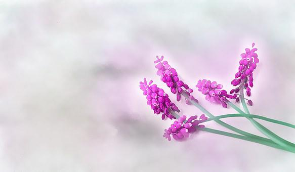 Grape-hyacinth, Fuchsia, Spring, Hyacinth, Muscari