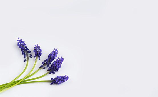Grape-hyacinth, Blue, Spring, Hyacinth, Muscari, Three