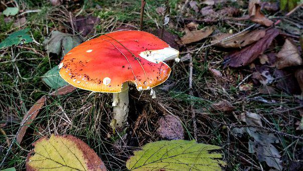 Fly Agaric, Mushroom, Forest, Autumn, Nature, Toxic