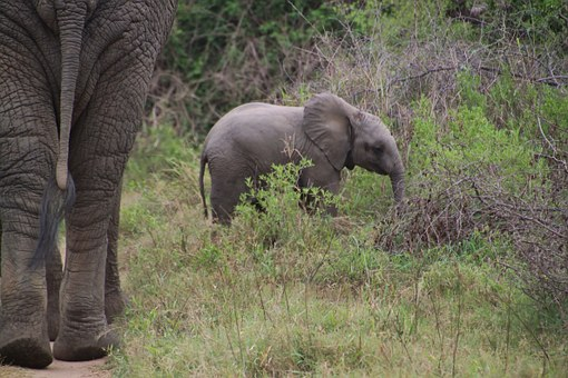 Elephant, African Bush Elephant, National Park, Africa