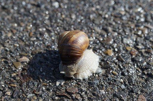 Snail, Housing, Crawl, Road, Away, Tar, Reptile, Nature