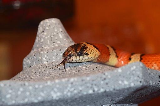 Snake, Non Toxic, Constrictor, Reptile, Terraristik