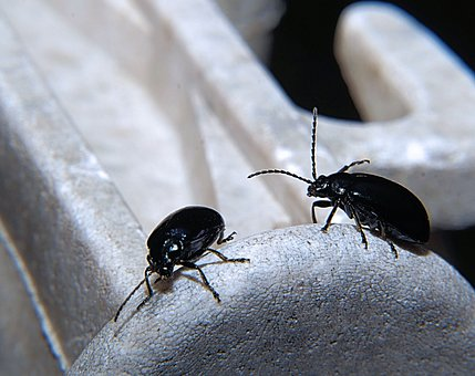 Dung Beetle, Trypetes, Black, Probe, Dung Eaters
