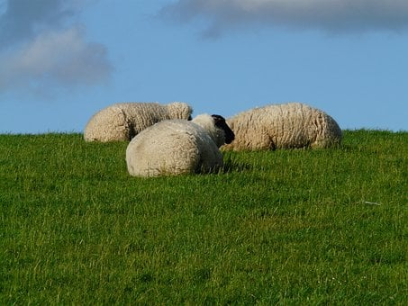 Flock Of Sheep, Sheep, Group, Concerns, Rest, Relax