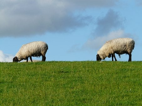 Flock Of Sheep, Sheep, Pair, Togetherness, Series