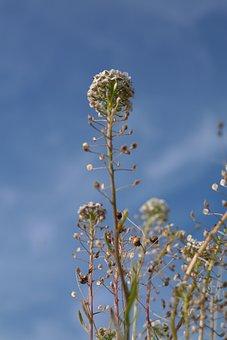 Shepherd's Purse, Herb, Plant, Stalk, Blossom, Bloom
