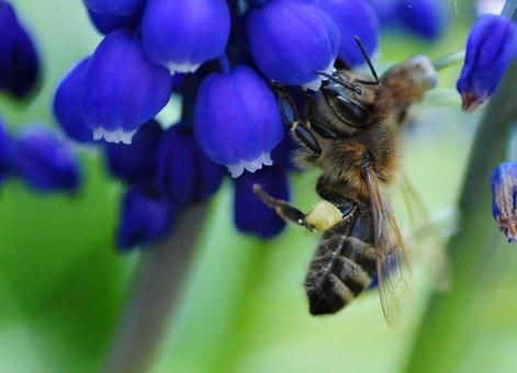 Bee, Always, Muscari, Pollen, Spring, Nature, Blossom