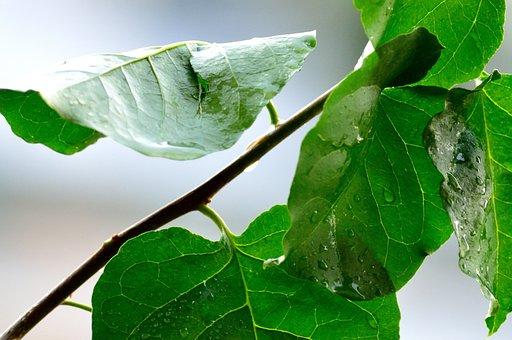 Rain, Water, Wet, Drops, Rainy Day, Raindrops, Plant