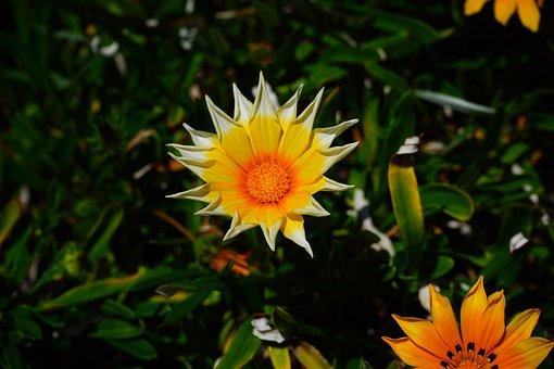 Gazania, Flowers, Yellow, Star, Teeth-shaped, Orange