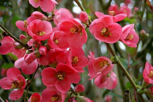 Flower, Apple Japan, Spring, Pink, Flowering, Garden