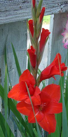 Gladiolus, Flower, Bloom, Nature, Petal, Plant, Blossom