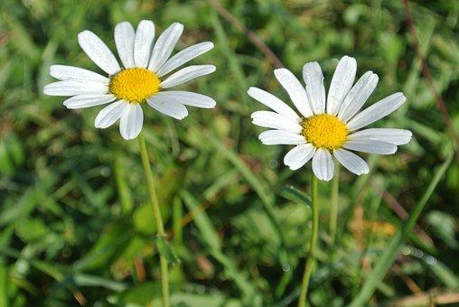 Flowers, Margerithen, White Flowers, Blossom, Bloom
