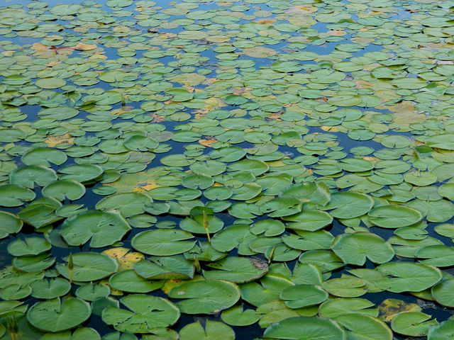 Aquatica Plant, Pond, Amazonia, Brazil