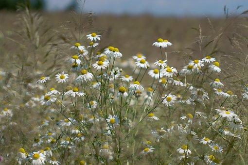 Meadow, Camomile, Wildflowers, Grass, Wild Flowers