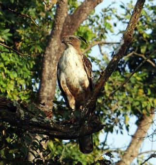 Eagle, Changeable Hawk-eagle, Crested Hawk-eagle