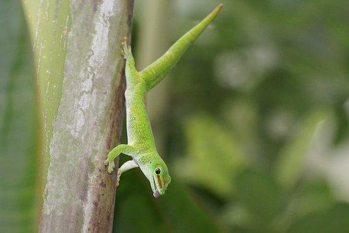 Reptile, Madagascar Gecko, Pangolin, Green
