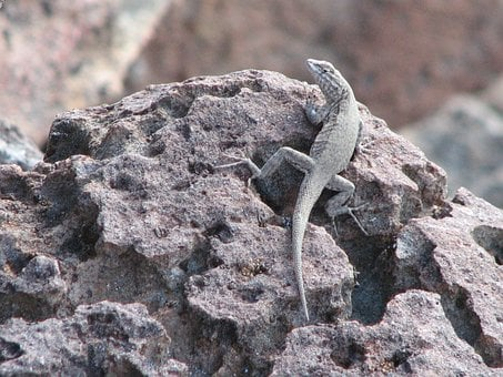 Lizard, Animal, Wildlife, Reptile, Wild, Outside