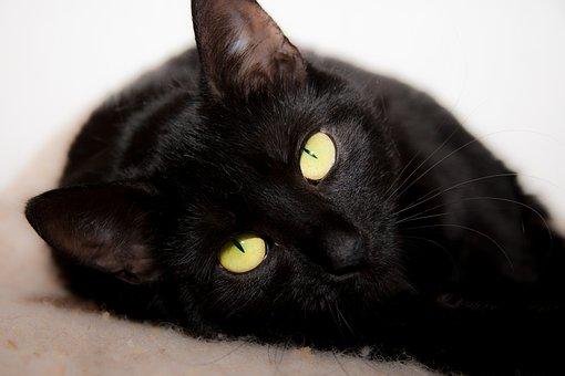 Cat, Lying, Black, Eyes, Domestic, Feline, Kitten