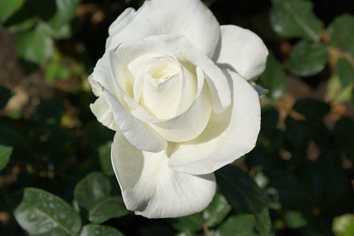 Rose, Butchart, Gardens