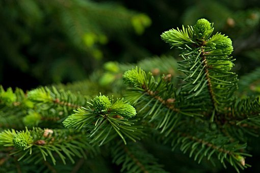 Needles, Spruce, Twigs, Detail, Nature, Macro, Green