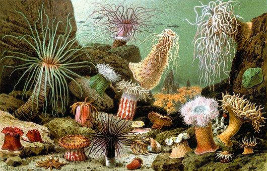 Sea Anemones, Actiniaria, Water Lilies, Seenelken