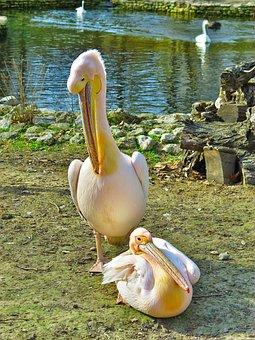 Bird, Wild, Pelican, Nature, Wildlife, Animal, Water