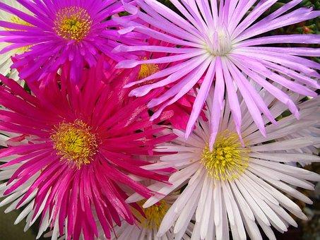 Lampranthis, Delicate Flowers, Aizoaceae, Bloom