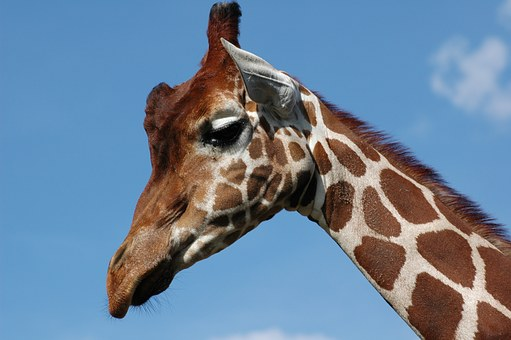 Giraffe, Whipsnade Zoo, Blue Sky