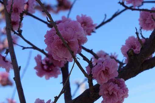 Cherry Blossom, Tree, Spring, Nature, Pink, Branch