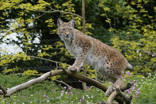 Whipsnade Zoo, Cat, Bedfordshire, Nature, Tree, England