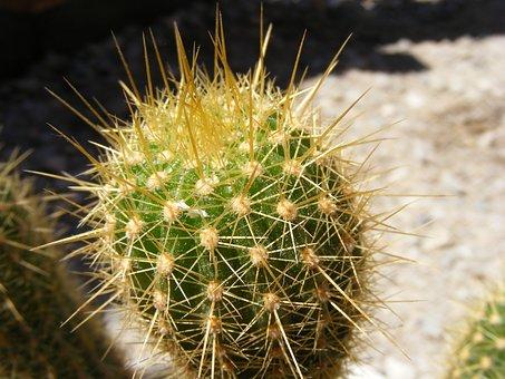 Cactus, Cacti, Nature, Flowers, Gardens, Desert, Plant