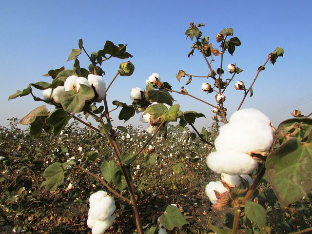 Cotton Crop, Cotton Tree, Plant, Harvest, Navalgund