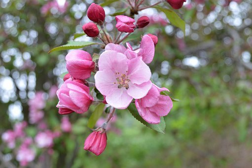 Cherry, Pink, Bunch Of Flowers, Buds, Shoots, Branches
